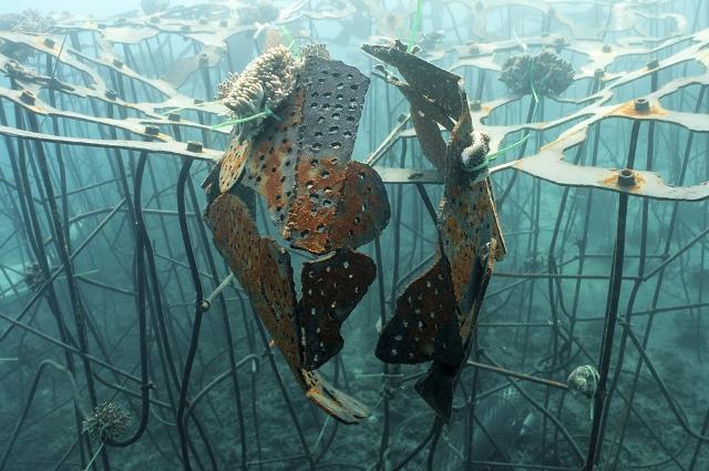 Dengan teknologi Biorock, kuncup-kuncup terumbu karang bisa tumbuh lebih cepat hingga 4 kali dari teknik konvensional.