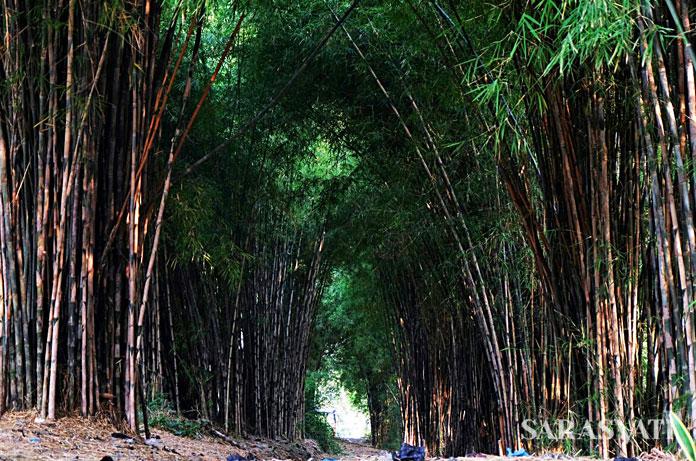 Bambubos rutin melakukan pemetaan sumber bambu di Yogyakarta, Jawa Tengah, Jawa Timur dan Lombok. kebun bambu di Sumber Mujur, Kabupaten Lumajang ini adalah hasil pemetaan dengan mitra Aliance One Indonesia di tahun 2017